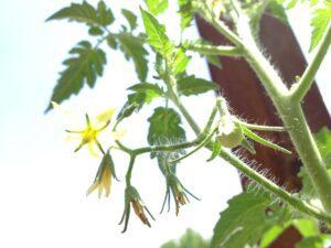 Tiny tomato